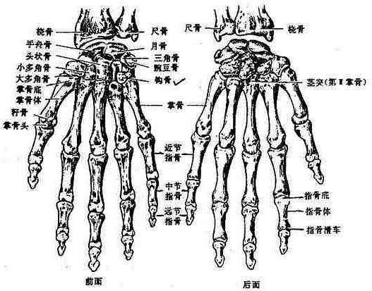 人体解剖学/上肢骨