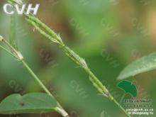 柴胡叶链荚豆