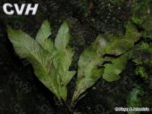 剑叶铁角蕨