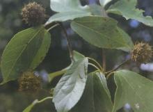 金缕半枫荷叶