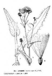 大叶苣荬菜