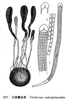 大团囊虫草