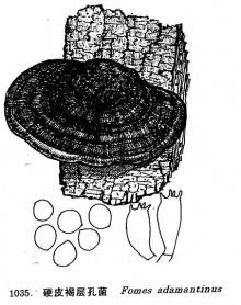 硬皮褐层孔菌
